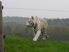 White Tiger (Cyberslayer) Tags: park greatbritain tiger safari worcestershire westmidlands whitetiger safaripark westmidlandssafaripark bewdley
