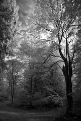 Arboreal (Minette Layne) Tags: seattle autumn blackandwhite tree fall nature ir infrared digitalinfrared washingtonparkarboretum bwdreams universityofwashingtonbotanicgardens