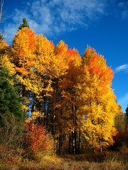 The sun returns! (Starlisa) Tags: blue autumn sky fall nature yellow forest glorious cottonwood soe troutlake unaltered elkmeadows img2097 mywinners abigfave supershots superaplus aplusphoto unature starlisa diamondclassphotographer bestoftheforest myfavoriteforest colourartaward colorartaward goldstaraward homeoftheelk icouldheartheelk