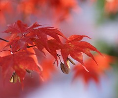 Layers of nature---- (tollen) Tags: autumn red green fall home leaves wow maple bravo searchthebest lavender layers naturesfinest