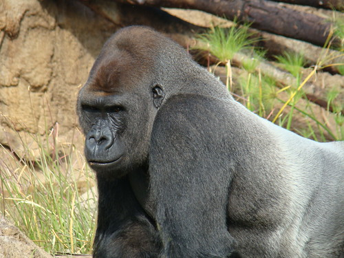 Silverback Gorilla at the Los Angeles Zoo