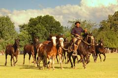 Los oscuros (Eduardo Amorim) Tags: horses horse southamerica argentina criollo caballo cheval caballos cavalos pferde herd cavalli cavallo cavalo gauchos pferd pampa hest hevonen chevaux gaucho  amricadosul hst gacho  campero amriquedusud provinciadebuenosaires  gachos  sudamrica sanantoniodeareco suramrica amricadelsur  areco sdamerika gregge crioulo troupeau littlestories caballoscriollos herde criollos  tropillas pampaargentina camperos golddragon americadelsud mywinners tropilhas tropilla platinumphoto  crioulos cavalocrioulo americameridionale tropilha caballocriollo campeiros infinestyle campeiro eduardoamorim cavaloscrioulos picswithsoul pampaargentino
