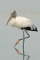 American Woodstork (Blake Shadle) Tags: nature photography avian ftdesoto specanimal mywinners blakeshadle lightstylus