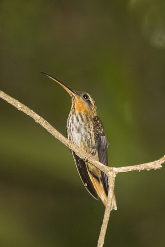 Beija-flor-rajado / Saw-billed Hermit (Ramphodon naevius)