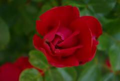 Unfolding Rose (angelsweet1) Tags: life red nature rose start bush creation bite unraveling unfold pentaxk10d