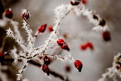 (SolarTempest) Tags: winter snow cold solar kevin hoarfrost chan sarnia d200 tempest wawanoshwetlands howardwatsontrail solartempest photographysolartempestnet
