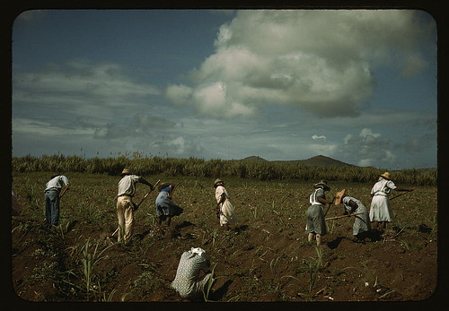 Cultivating sugar cane on the Virgin Islands Company land, vicinity of Bethlehem, St. Croix (LOC)