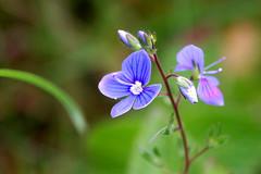 (Rafal Bergman) Tags: flower macro lakes poland polska forgetmenot kwiatek mazurian wielkie jeziora niezapominajka mazurskie