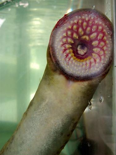 lamprey eel attached to aquarium glass