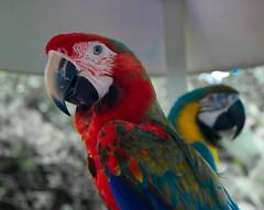 parrot (hallleeyyysayyss) Tags: blue red eye yellow focus beak parrot miamimonkeyjungle