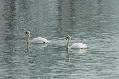 Mute swans (violetflm) Tags: bird water d2x nonnative muteswan gillson cf13548