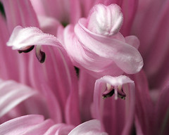 Candy Floss (sminky_pinky100 (In and Out)) Tags: flowers macro floral flowerart simplyflowers flowerotica omot floweria thisthatmacro freeflickrflowers awesomeblossoms