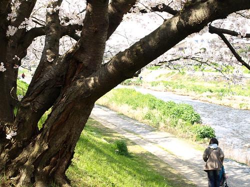 20080405 哲学の道・鴨川の桜 233