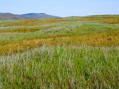 Waves (BoscoMtn) Tags: grass oregon meadow columbiagorge rowenacrest springqtr tommccallpreserve