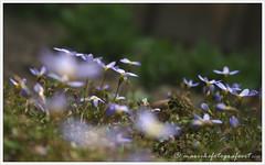 The Lovely Little Ones... (mariekefotografeert) Tags: flowers green garden klein groen purple little tuin paars bloempje mariekefotografeert project366 themacrogroup