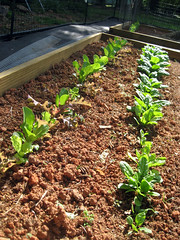 rows of lettuce and spinach