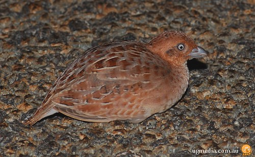 Little button-quail (Turnix velox)