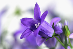purple (Magda'70) Tags: flowers usa flower color colour macro closeup america us nikon colours purple f10 mm 105 160 d300 180mm mywinners aplusphoto zymon nearbynature