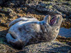 2017 Seal pup head back_ (davidmcbridephotography) Tags: atlantic grey seal juvenile cute isles scilly cornwall united kingdom teeth laugh interaction rescue bdlmr upwards yawn scillies stock photo natural history image back lie upside down enthrawling captivating gaze humble humbling privelidge privelidged march digital sol exposure