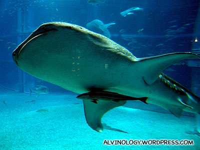This fish likes to swim beneath the whale shark