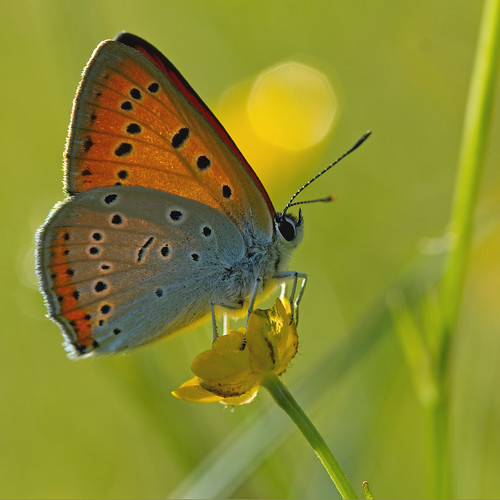 Cuivré des marais (Lycaena Dispar) Large Copper
