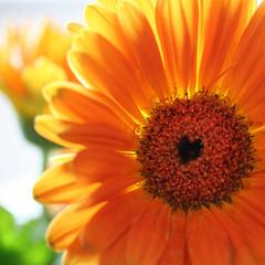 loving spring!!!! (janoid) Tags: light orange love spring heart gerbera daisy xoxoxoxox bewellplease lovingyouall saturdaysillinness trishsfavoritecolor lovingyousweetfriend