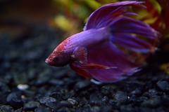 Vivid Beauty (Fobonic365) Tags: pet fish aquarium siamese fighting betta freshwater