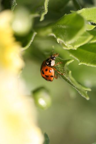 Climbing Harlequin Ladybird
