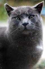 Momma Cat (Kim Smith-Miller) Tags: cat grey nikond50 nikkor50mmf18 fatcat 2007 straycat mommacat