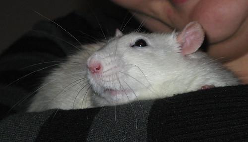 Råttentått