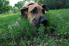 think small (unfocused mike) Tags: dog baby chicken face grass puppy big eyes funny sweet expression ears greatdane roxy dogpark whiterocklake submissive impressedbeauty lmaoanimalphotoaward