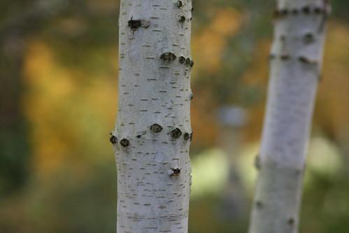 Silver Birch Tree 1