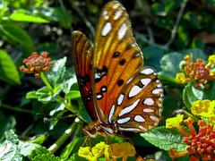 Orange Butterfly (Got-U) Tags: flowers orange macro nature closeup butterfly bug outdoors florida wildlife papillon yellows upclose mariposa butterflyshots