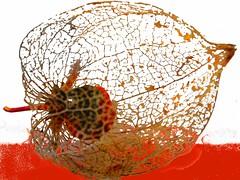 a designlamp (mezze) Tags: orange nature fruit skeleton berry lampion physalis
