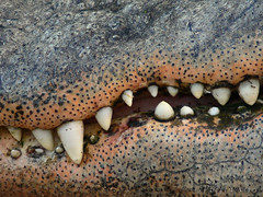 Need Some Dental Work? (PuffinArt) Tags: color detail texture animal closeup lumix teeth panasonic crocodilian puffinart fz30 dentes vandamalvig