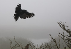 crow and hawk (john curley) Tags: ocean trees beach fog topf50 hawk feathers seawall maybe cypress crow raven pacifica corvid oddthemapflickrusescallsthisdalycityitsnotitspacifica
