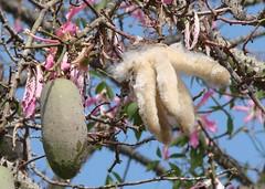Silk floss tree fruit, before and after opening (Martin LaBar) Tags: california pink white flower tree green fruit pod elcajon fluffy malvaceae thorns fiber silkflosstree sandiegocounty nicebluesky ceibaspeciosa