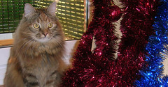 Kira wishes you Merry Xmas!!! (Shûshan) Tags: cats cat grande big pussy maine fluffy gatos gato grandes coon mainecoon kira mardigras catz gat katz peludo gats peludos