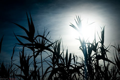 Bamb (DavidGorgojo) Tags: blue sun plant planta sol azul backlight contraluz bamb diamondclassphotographer flickrdiamond