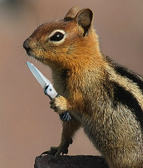 Pushed Too Far (4Durt) Tags: knife chipmunk craterlake wildanimals goldenmantledgroundsquirrel badsquirrel spermophiluslateralis lmaoanimalphotoaward photodomino543