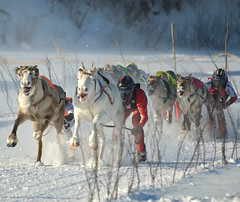 reindeer race (Henri Bonell) Tags: winter snow race reindeer littlestories supershot magicdonkey fivestarsgallery abigfave platinumphoto anawesomeshot superaplus aplusphoto henribonell flickrplatinum diamondclassphotographer bratanesque flickrestrellas picswithsoul llovemypic