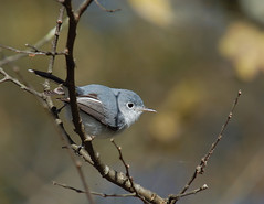 Blue-gray Gnatcatcher (Misanthrope_) Tags: bird animal d50 nikon texas tamron bluegray gnatcatcher 200500 specanimal tamronspaf200500mmf563dildif theperfectphotographer