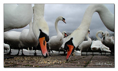 Swans 01 (Recycled Teenager (NORFOLK IMAGES)) Tags: white nature water birds closeup thames river reading swan feeding swans berkshire riverthames caversham mahnaz natureselegantshots