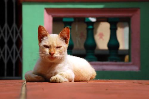 Telok Blangah Cat