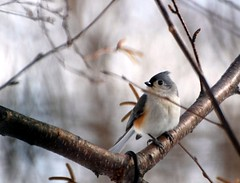 Bokeh - Tufted Titmouse Photo (blmiers2) Tags: usa white newyork bird nature beautiful birds geotagged photo nikon bokeh wildlife gray uccelli titmouse birdwatching avian smallbirds tuftedtitmouse baeolophusbicolor passeriformes backyardbirds paridae birdphoto ttcu d40x bokehwednesday happybokehwednesday titmousephoto blm18 blmiers2