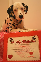 to my funny valentine (romeo'smom) Tags: red dog love puppy hearts sweet explore spots romeo dalmatian headtilt valentinesday thenandnow redwhiteandblack littlestinker february14th wildcrazypuppy