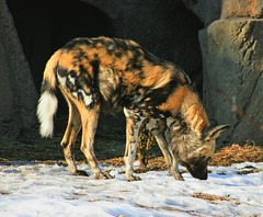 African Wild Dog (newagecrap) Tags: africanwilddog canine zoo lincolnparkzoo winter snow chicago cookcounty illinois