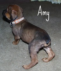 Amy (muslovedogs) Tags: dogs puppy mastweilers zeusoffspring myladyoffspring