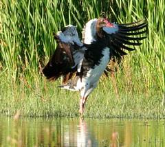 IMG_3366b (Peet van Schalkwyk) Tags: africa wild bird nature birds animal southafrica photo image photos wildlife images potchefstroom spurwingedgoose plectropterusgambensis wildemakou