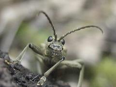 ein Zangenbock (exegraf) Tags: nature eyes natur augen insekten kfer insecta augenkontakt fhler